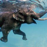 Még az elefánt is tud úszni