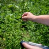 NNK: virágzás előtt a parlagfű, már júliusban allergiás tüneteket okozhat