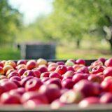 Elindult az almafogyasztást népszerűsítő kampány