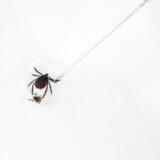 A melegedés hatására gyakrabban csípi meg az embert a halálos betegséget okozó kullancs