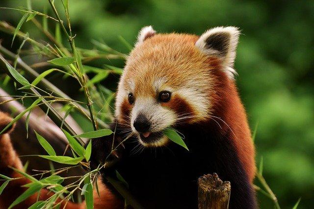 A Himalájához költözik a debreceni állatkert egyik vörös pandája