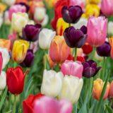 Tulipános kert nyílt Mórahalom határában